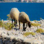 Schafe auf der Insel Pag in Metajna
